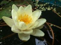 Нимфея белая (водная лилия)