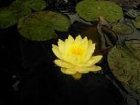 Нимфея желтая (водная лилия), сорт Марлиака Хромателла