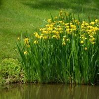 Ирис водный, желтый