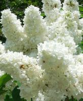Сирень обыкновенная белая, махровая, 2-х летние саженцы