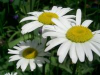 Ромашка белая, крупноцветковая, нивяник