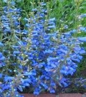 Пенстемон голубой, 2-х летние саженцы