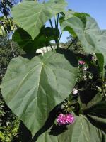 Павловния - красивое дерево, 2-х летние саженцы