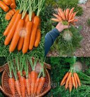 Морковь Скарлет  80000 семян (100gr) ранняя BT TOHUM