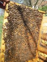 Пчеломатка плодная молодая Карпатской породы