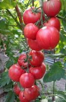 ПИНК КЛЕР F1 (HTP - 11) / PINK CLAIRE F1 - розовый индетерминантный томат 500шт