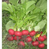 Диего F1 семена редиса 22-24 дн. (Hazera) 25000 семян