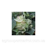 Рауль F1 семена капусты цветной средней (Hazera) 2500 шт