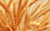 Семена озимой пшеницы сорту Мария, элита та 1 репродукция