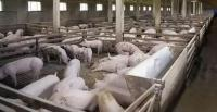 Борьба с африканской чумой. О перспективах применения УФ и озоновых технологий в свиноводстве.