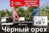 Черный орех саженцы однолетние, (родственник грецкого), Juglans nigra