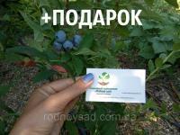 Голубика семена (20 штук) Vaccínium uliginósum для саженцев + итнструкции + подарок