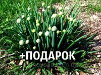 Лук-батун семена 20 шт (татарка, дудчатый, Allium fistulosum) цибуля насіння