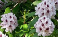 Саженцы Рододендрона (белого) Calsap