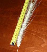 Семена озимой пшеницы оптом от 500 кг. Канадский морозостойкий сорт TESLA и ARVADA