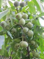 Саженцы скороплодного ореха