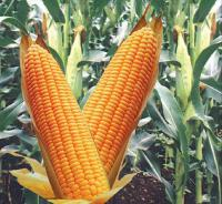 Гибрид кукурузы Гран 240 (ВНИС)