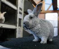 Кролики мясо-шкурковой породы Большое Светлое Серебро (БСС, Евросеребро)