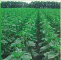 Семена подсолнечника Богдан (евро-лайтинг)