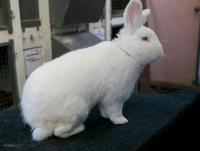Новозеландские Белые кролики (НЗБ)