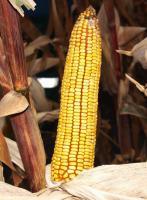 Пивиха ДН - Семена кукурузы Институт зерновых культур НААН Украины