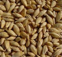 Семена канадского ярового ячменя - сорт Дункан, 1 репродукция