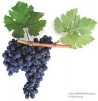 Саженцы винограда Антей Магарачский