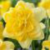 Narcissus Sweet Pomponette Нарцисс Свит Помпонетт 14-16
