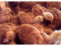 Мясо-яичные куры породы Редбро