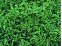 Семена клевера (газон не требующий скашивания)