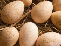 Яйцо инкубационное индюшиное