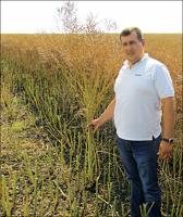 Семена рапса озимого ЛЕМБКЕ – гибрид Шерпа