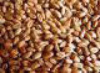 Пшеница озимая Ватажок