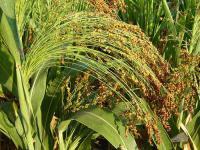 Семена сорго на зеленую массу
