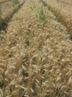 Семена пшеницы озимой Трипольская