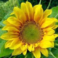 Семена подсолнечника СУР