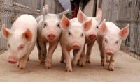 Программа для оперативного учета  свиноводства