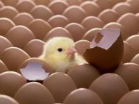 Яйце інкубаційне яєчної породи Домінант