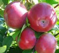 Саженцы яблони двухлетние сорта Айдаред Рассавка Чемпион