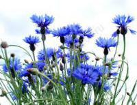 Волошка синя, квітка. Василек синий.