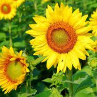 Семена подсолнечника Лиман OR Стандарт