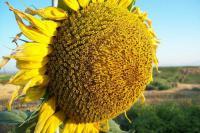 Семена подсолнечника Лиман OR экстра