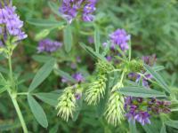 Семена люцерны, сорт Унитро