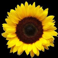 Семена подсолнечника гибрид Бонд