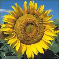Семена подсолнечника Деркул