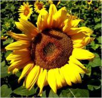 Семена подсолнечника Лиман ОР