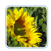 Насіння соняшнику угорської селекції Тамара КЛ