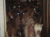 Племенная Немецкая пестрая коза