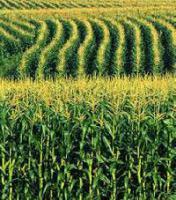 Гібридне насіння кукурудзи Любава 279 МВ