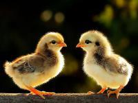 Суточные цыплята мясояички мастер грэй, ред бро, испанка (голошейка)